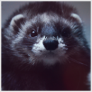 Photo de iferret