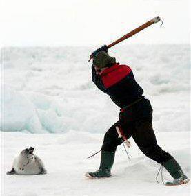Stop à la chasse aux phoques