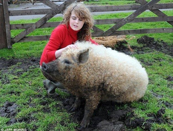 Cochon-mouton ??? vrai ou faux ???