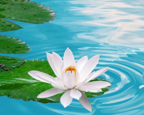la fleur de lotus blanche symbole de purete blog de. Black Bedroom Furniture Sets. Home Design Ideas