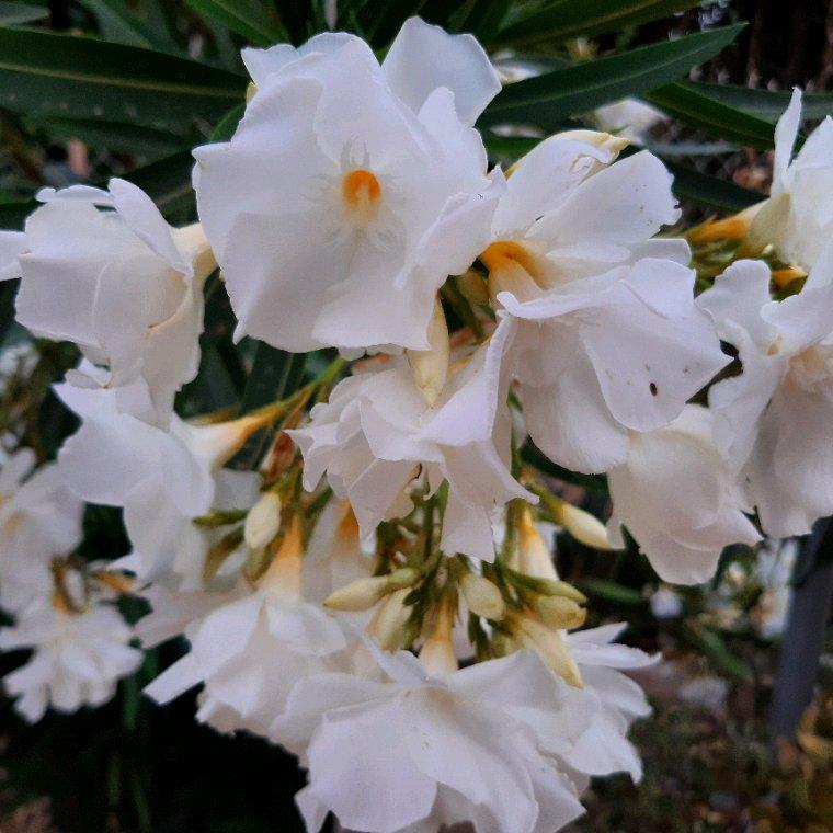 Lauriers  roses de couleur  blanche.