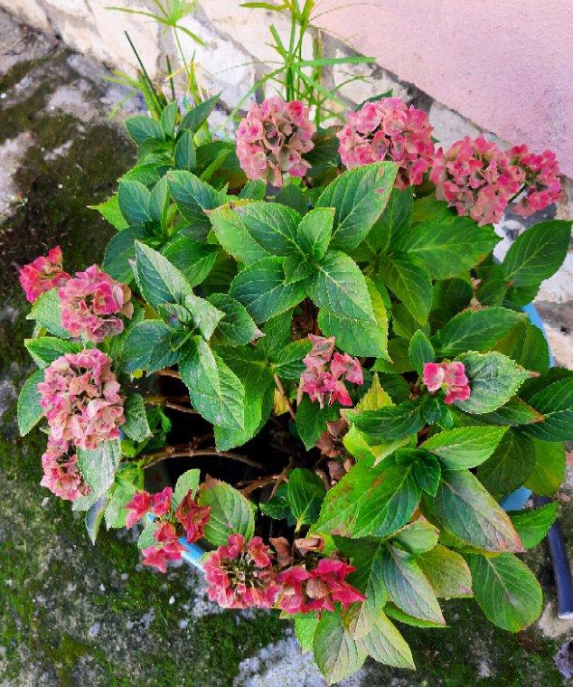 Fin de floraison  des hortensias  chez ma mère.