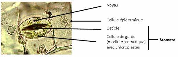 Les tissus des Angiospermes: première partie.