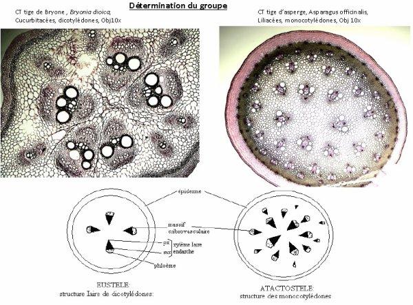 Les tissus des Angiospermes: deuxième partie.