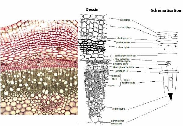 Les tissus des Angiospermes: troisième partie
