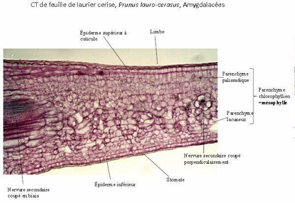 Les tissus des Angiospermes: quatrième et dernière partie.