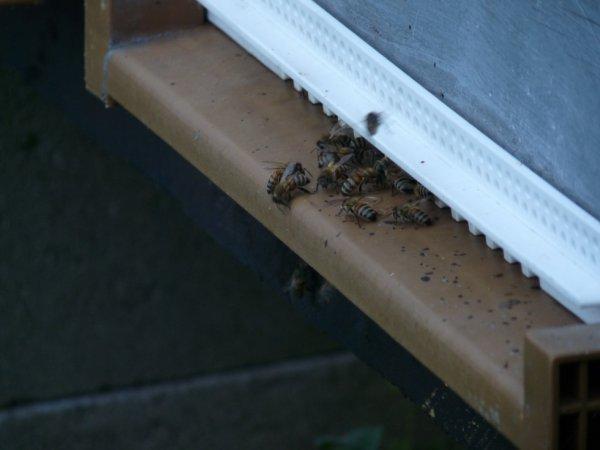 sos essaim d'abeille