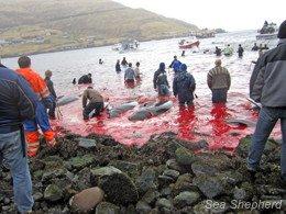 Le massacre a commencé dans les Iles Féroces