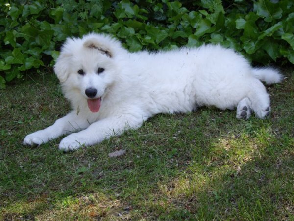 Article # o4 . Falkor Lords of The White Shepherd *