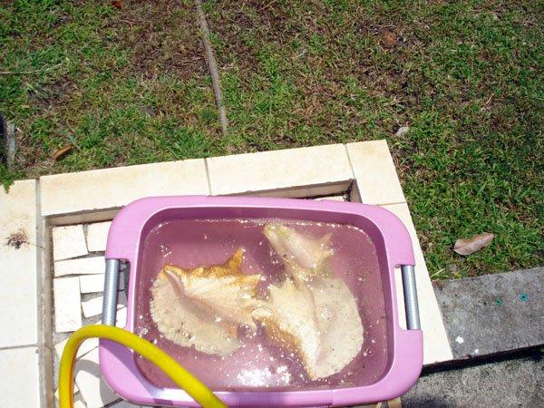Nettoyage des lambis dani le loisirs cr atifs for Nettoyage a l acide chlorhydrique