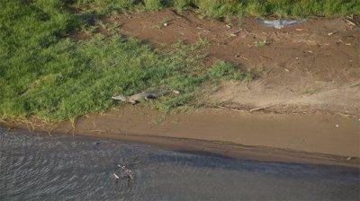 un crocodile dans une rivière