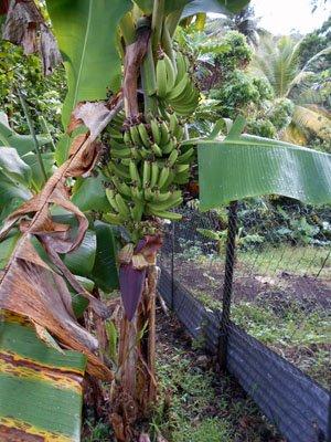 naissance des bananes