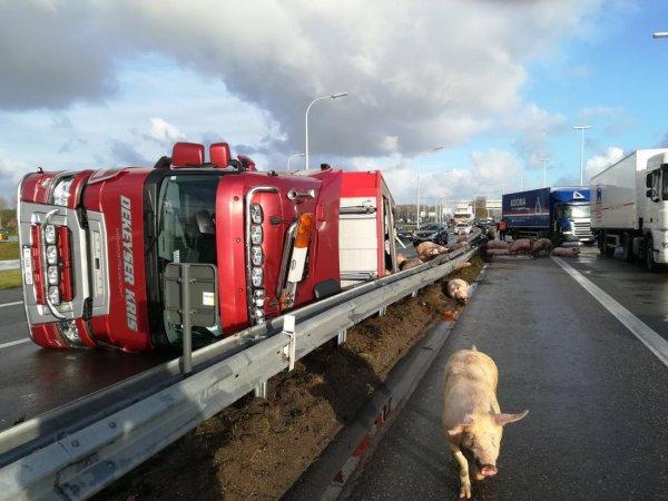 08-12-2017 - Flandres - Flandres - Oostkamp - Bruges - direction Courtrai - Des dizaines de cochons périssent dans l'accident d'un camion à l'échangeur E40-E403.