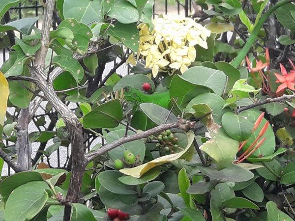 Attention il y a un lézard vert caché près de la fleur jaune