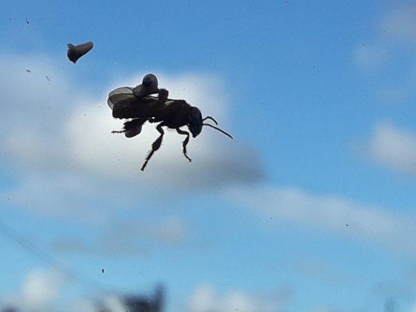 une guêpe sur mon pare brise avec son pollen sur ses pattes