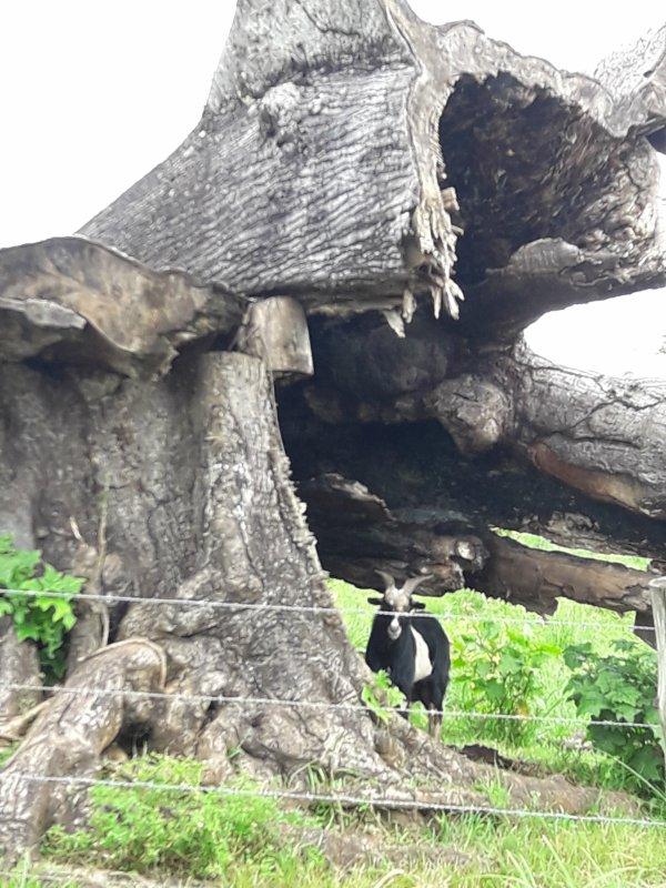 Un bouc sous les restes d'un arbre Fromager