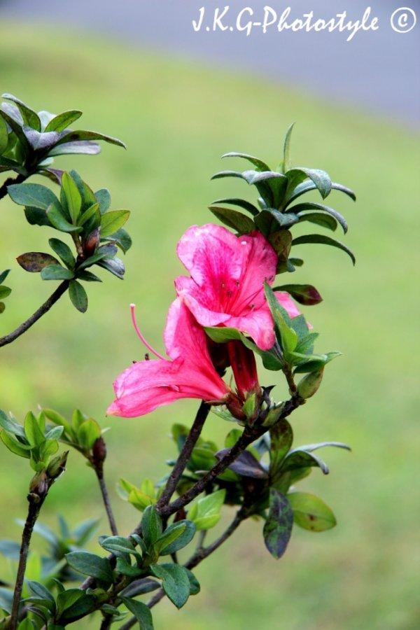 Fleurs de l'ile maurice