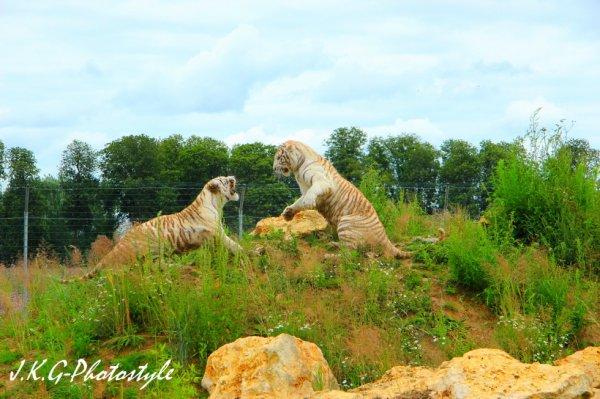 Tigres blancs.
