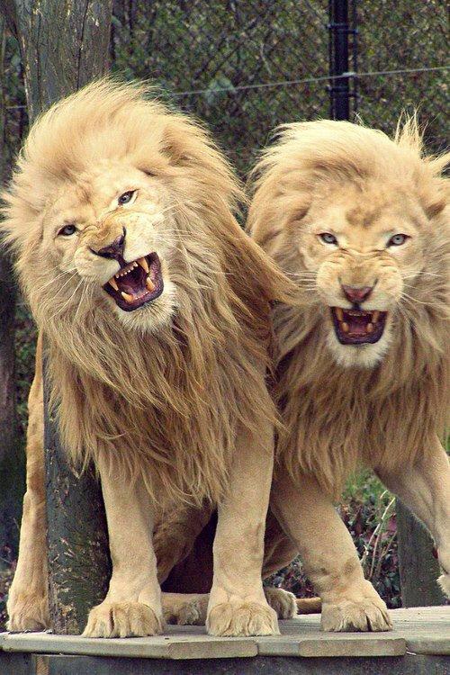 The lion of Judah ( ces pour moi la plus BELLE créature sauvage )