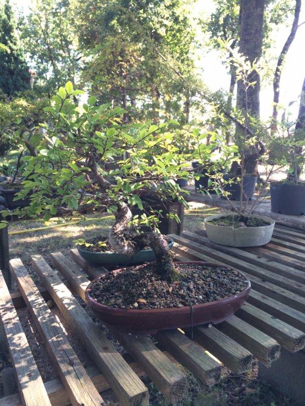 Mon premier bonsaï