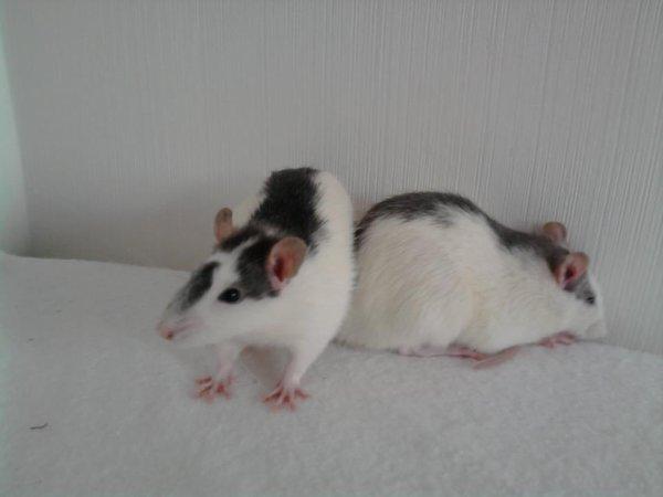 mes 2 petits rat damour