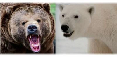 Ours polaire vs ours kodiak choc de titans - Tigre polaire ...