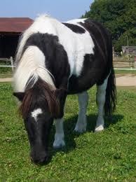 poney pie noir