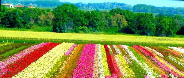Champs de fleurs :)