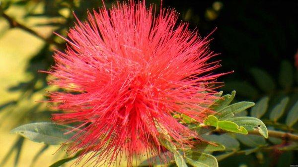 Fleur de mimosa sensitive - la vie d'un jardinier