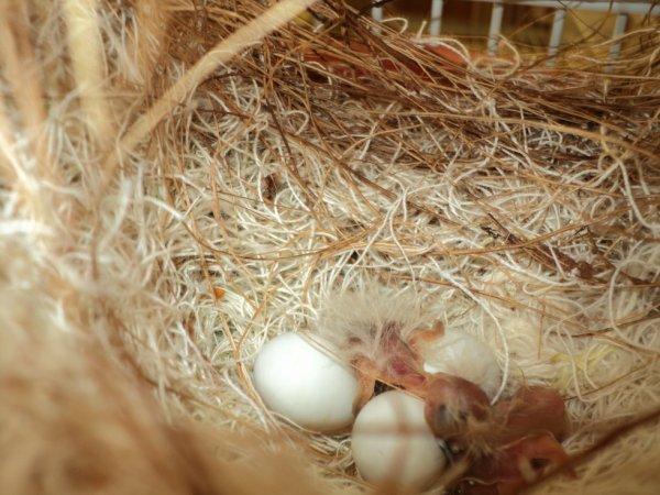 voici les bébés madarins à 1 jour de vie