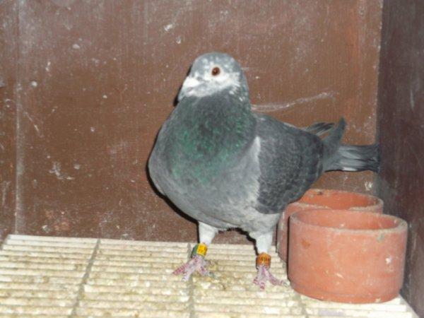 mon masaique de 2 an un pigeon assez régulier au concours
