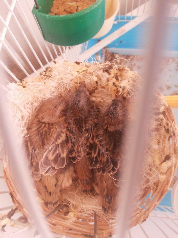 jeunes de mon deuxieme couple de canari