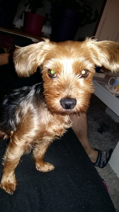 Daisy, adorable petite yorkshire.