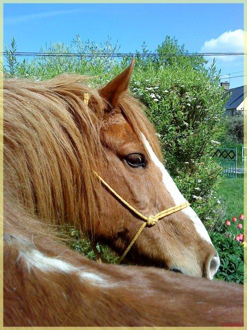 Lorsque l'esprit malin de Fanion se pose sur Kangoo! Ca vous donnes un poney arrivée dans la pature d'herbe sans avoir défoncer une seule cloture éléctrique...