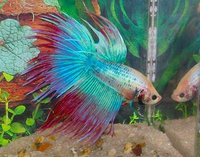 De tres beau poissons bettaworld for Nom poisson rouge