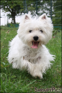 Modèle :Engie, West Highland White Terrier || Retouches : Recadrage