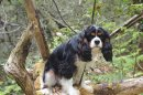 Photo de Cavalier-King-Charles-16