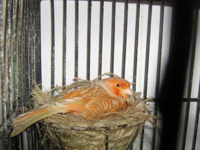 femelle isabelle rouge en plein couvaison