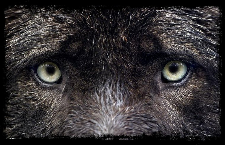 Le loup est de retour aux portes de Vienne