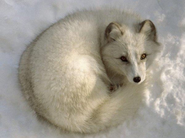 renards des neiges
