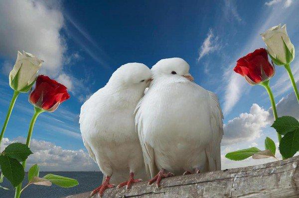 cygnes et colombes