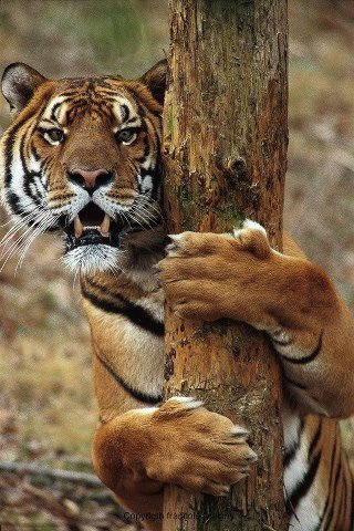 cadeau pour toi ma ginou(comme tu ma dit k tu aime bcp les tigres ben voila)