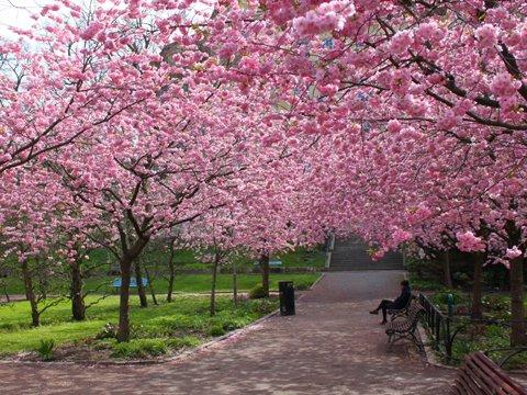 arbres fleuris un jour de printemps