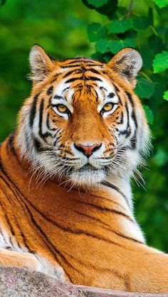 beauté du tigre