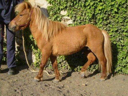 poney nain