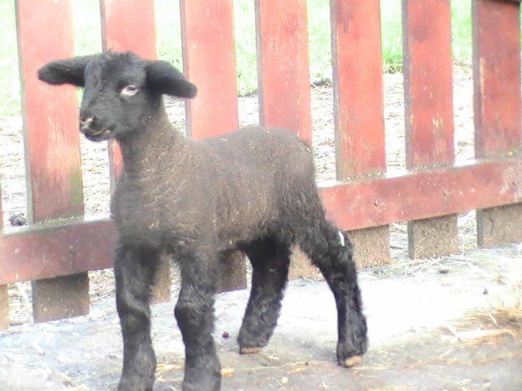 agnelle double 8 jours , père Cairness Cyclone , mère de chez Claude Henricot