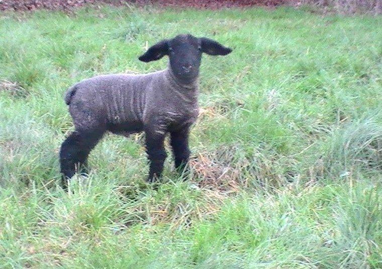 agneau né double 15 jours père solwaybank major