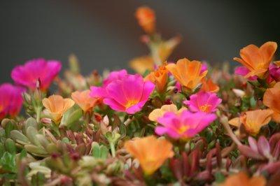 Tenerife , les fleurs .