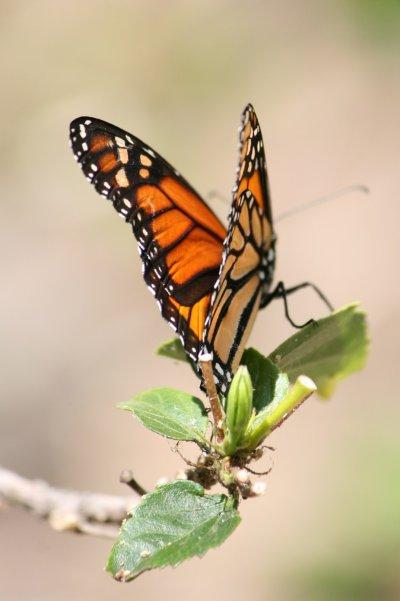 Le papillon Monarque (Danaus plexippus) .