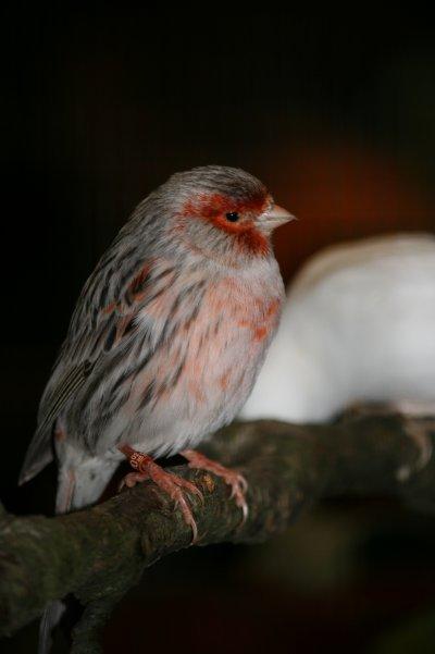 60éme exposition Romande d'oiseaux  ARAO 2010 .